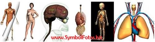 Anatomie des Menschen (Organe, Knochen, Skelett, Muskel usw.)